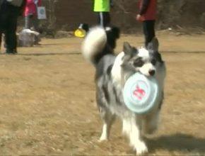 В соревнованиях по фризби в Китае принимают участие собаки