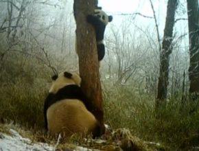 Гигантские панды обнаружены в китайском заповеднике