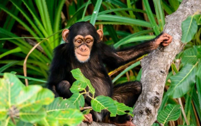 Реабилитационный центр Шимпанзее в Гамбии
